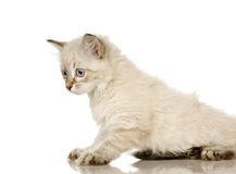 Blu-tabby-point Birman kitten Royalty Free Stock Images