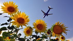 Bluair airplane landing over sunflower fields Royalty Free Stock Photography