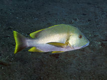 Blubberlip snapper Stock Photography
