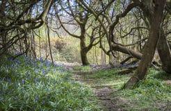 Blubell trän i Sussex, UK Royaltyfria Foton