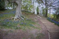Blubell trän i Sussex, UK Arkivfoton