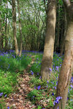 Blubell Woods. A quiet wooded area in rural Wiltshire, England, with spring BlueBell flowers lining a leaf strewn footpath through the woods Stock Images