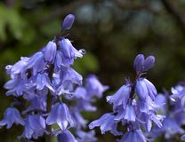 Blubells. Bluebell flowers royalty free stock photo