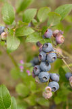 Bluberries Royalty Free Stock Photos