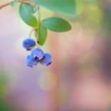 Bluberries Στοκ Εικόνες