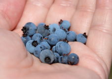 Wild Bluberries Royalty Free Stock Image