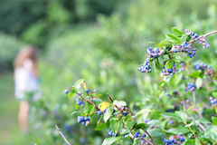 Bluberry果树园 免版税库存照片