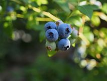 Bluberry Fruits On The Bush Royalty Free Stock Images