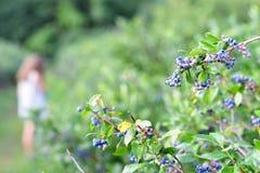 Bluberry fruktträdgård Royaltyfria Foton