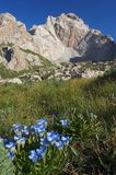 Blue. High-mountains flowers. Altitude about 3500 m. Sary-Beles massif. Kyrgyzstan Royalty Free Stock Photography