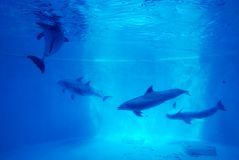 Blue. Five Dolphins under water in captivity Stock Image