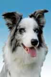 Blue. Portrait of a blue merle border collie with blue eyes Royalty Free Stock Images