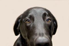 Blue. Labrador Retriever Royalty Free Stock Image