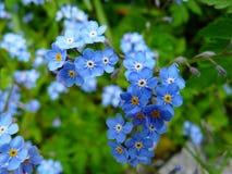 Blue 5 Petaled Flowers Royalty Free Stock Image