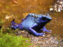 Blue. A small poisonous blue frog Stock Image