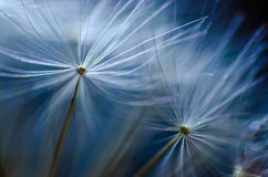 Blue abstact macro close up of dandelion. Macro close up of dandelion flower, blue abstract background Stock Images