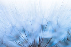 Blue abstract dandelion flower background, closeup with soft focus stock image