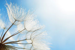 Blue abstract dandelion flower background, closeup with soft foc Stock Image