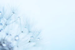 Blue abstract floral background, closeup of dandelion flowers Royalty Free Stock Image