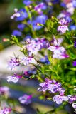 Blue ad white lobelia flowers on the white garden table, close up shot. Royalty Free Stock Images