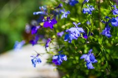 Blue ad white lobelia flowers on the white garden table, close up shot. Royalty Free Stock Photography