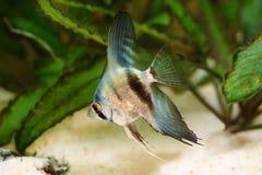Blue adolescent silver angelfish pterophyllum scalare aquarium fish Royalty Free Stock Photo