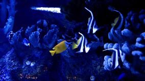 Blue Adventure Fishes in Aquarium. And the Place is in Antalya Turkey stock footage