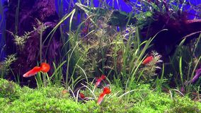Blue Adventure Fishes in Aquarium. And the Place is in Antalya Turkey stock video