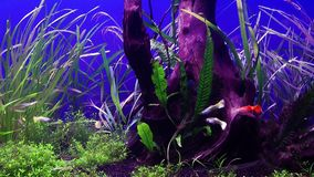 Blue Adventure Fishes in Aquarium. And the Place is in Antalya Turkey stock video footage