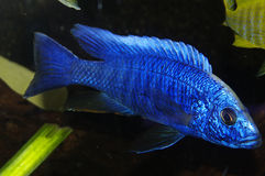 Blue african Cichlid, Lake Malawi Royalty Free Stock Photo