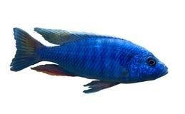 Blue african fish Sciaenochromis fryeri Stock Photos