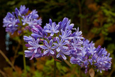 Blue African Lily (Agapanthus Africanus) Royalty Free Stock Image