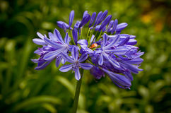 Blue African Lily (Agapanthus Africanus) Stock Photography