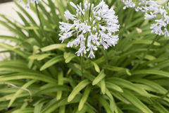 Blue African lily Agapanthus flower in park Stock Photo