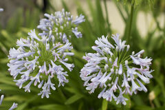 Blue African Lily (Agapanthus Africanus). Green plants with water drops Royalty Free Stock Photo