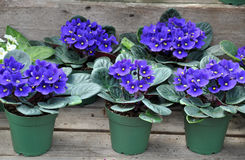 Blue african violets Stock Photography
