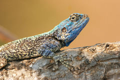 Blue Agama Stock Photography
