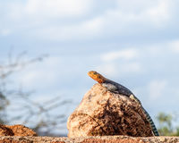 Blue Agama Lizard Stock Photo