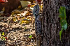 Blue agama lizzard climbing a tree in search of flies, Hwenge, Z stock photo