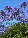 Blue Agapanthus Stock Photo