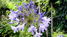 Blue Agapanthus Flower Royalty Free Stock Image