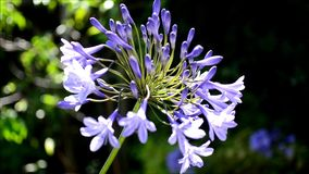 Blue Agapanthus Flower Stock Photography