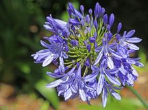 Blue agapanthus flowers Stock Images
