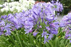 Blue Agapanthus flowers in close up in the garden Stock Images
