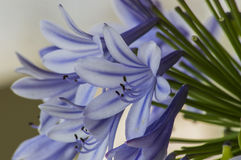 Blue agapanthus Stock Photography
