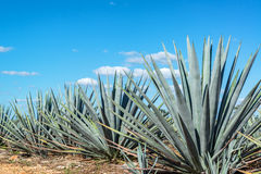 Blue Agave and Blue sky Stock Images