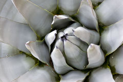 Blue Agave Closeup Royalty Free Stock Images