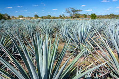 Blue Agave Field Stock Photography