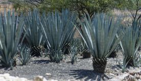Field of blue agave in mexico stock image