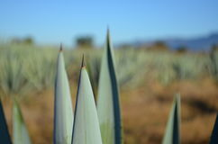 Blue agave Stock Images